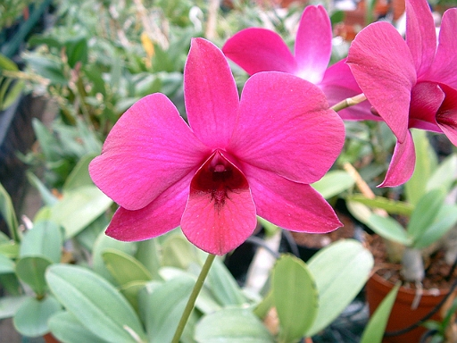dendrobium, orquídea