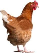 galinha-felicidade