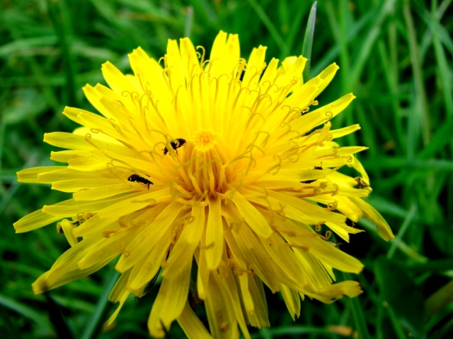 dandelion flower with bugs