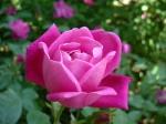 Rosa_chinensis
